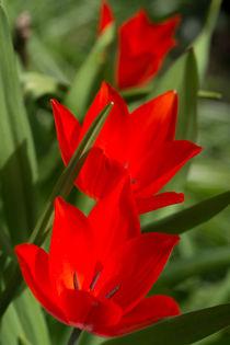 Tulpen  von Stephan Gehrlein