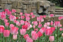 Tulips by Azzurra Di Pietro