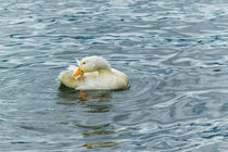 White-duck-preening-at-lake-print