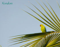 Parrot-on-palm-cropped
