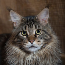 Maine Coon / 67 by Heidi Bollich