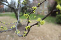 Spring Buds by Kathryn Brode