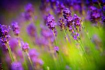 Lavender Flowers von Natalia Klenova