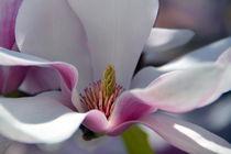 Magnolienblüte by gugigei
