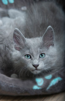 Dsc-5116-dot-nebelung-kitten1-04-16