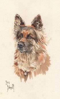 German Shepherd by terrydonnelly
