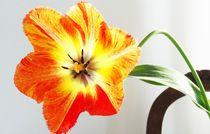 Tulpe II von Art of Irene S.