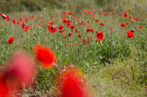 Poppies (Papaver rhoeas) in field in spring by Perry  van Munster