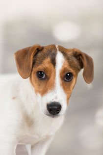 Dsc-6392-dot-t-jr-terrier-welpe1-04-16