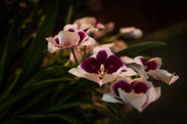 Pansy-orchid-2510