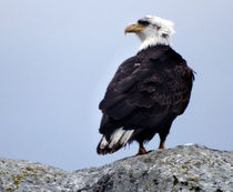 Bald Eagle Watching by Gena Weiser