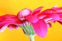 Pink-gerbera