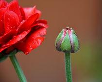 Blüte und Knospe von gugigei