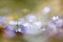 Leberblümchen von hpengler