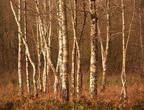 La-danse-des-arbres