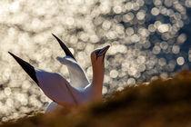 Basstölpel am Vogelfelsen von hpengler