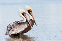 Pelikane by hpengler
