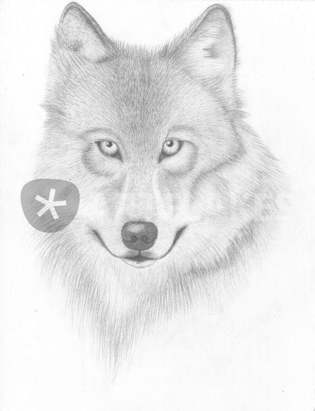 wolf gezeichnet zeichnung als poster und kunstdruck von frauherrmann bestellen artflakes com. Black Bedroom Furniture Sets. Home Design Ideas