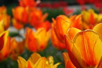 Tulpen in Orange 4 by Monika Jasmine