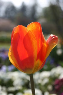 Tulpe in orange, tulip by Monika Jasmine