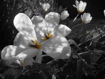 Tulpen in schwarz und weis von Monika Jasmine