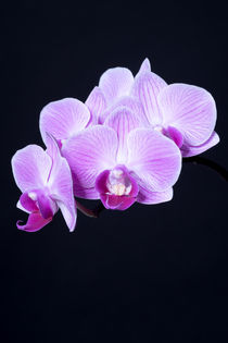 Orchidee by Susi Stark