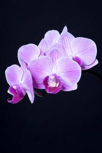 Orchidee von Susi Stark