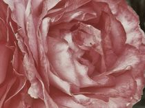 Scent Of A Rose ~by bebra by bebra