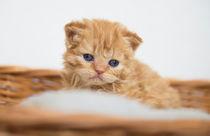 Dsc-8661-dot-selkirkrex-kitten3-05-16
