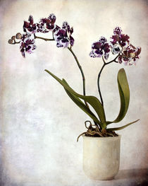 Purple orchid by Barbara Corvino