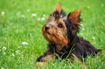 Yorkshire Terrier Toby  von AD DESIGN Photo + PhotoArt