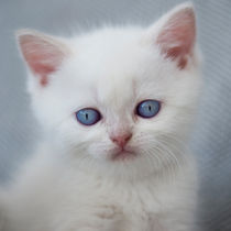 Britisch Kurzhaar Kitten / 72 by Heidi Bollich