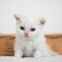 Dsc-8629-dot-2-selkirkrex-kitten6-05-16