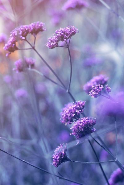 Violett-mood
