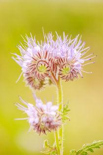 Lila Blume von renard