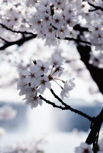 CHERRY FLOWERS by ursfoto