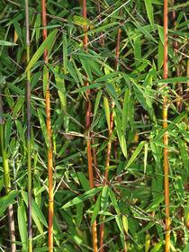 Bambus-jiuzhaigou1-4516pe