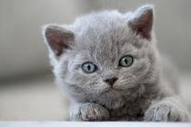 Dsc-8837-dot-selkirkrex-kitten7-05-16