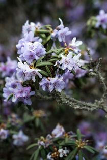 Blue Rhododendron by dagino