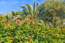 Großer Busch mit leuchtend roten Hibiskusblüten von Gina Koch