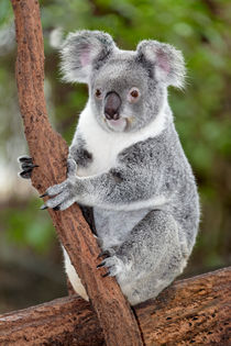 Koala in Eukalyptus Baum von Norbert Probst