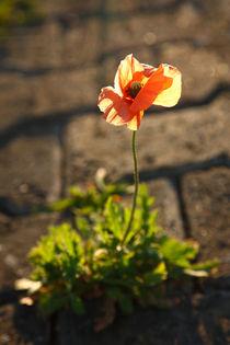 Poppy blooming by Gaspar Avila