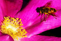 Honey bee on a pink camellia with yellow stamens by Christian Zirsky