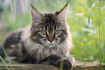 Maine Coon / 71 by Heidi Bollich