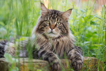 Maine Coon / 70 by Heidi Bollich