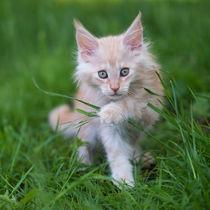 Maine Coon Kitten / 78 by Heidi Bollich