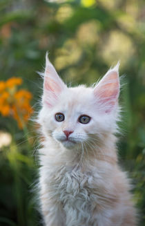 Maine Coon Kitten / 77 by Heidi Bollich