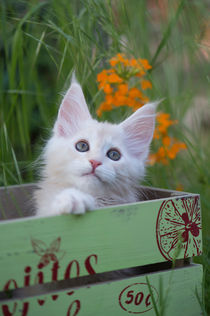 Maine Coon Kitten / 76 by Heidi Bollich