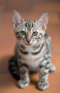 Dsc-3352-dot-bengal-kitten1-05-16