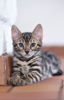 Dsc-4215-dot-bengal-kitten11-05-16